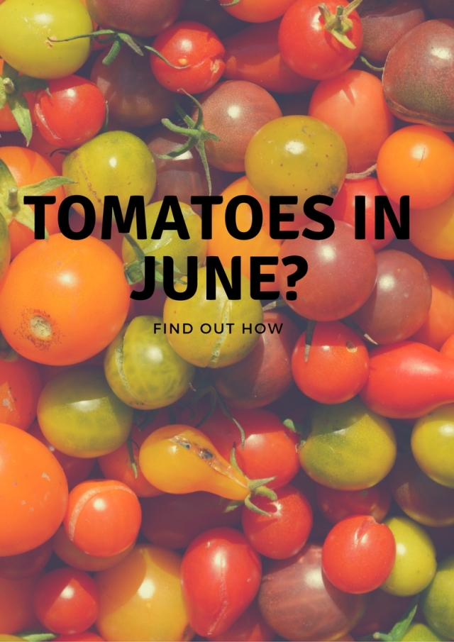 Tomatoes in June_